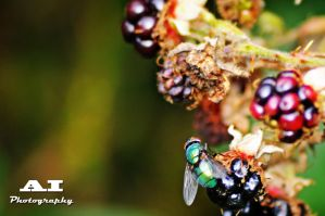 Blackberry Fly by The-Baron