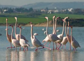 30-12-2012 flamingos at larnaca salt lake by poseidonsimons-s