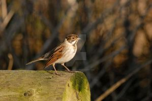 Winter Male Reed Bunting by Sarah-Hann-photo