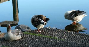 Geese46 by MaelstromStock