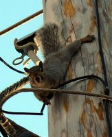 Squirrel on a wire. by sweatangel