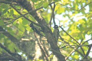 Woodpeckers by Laur720