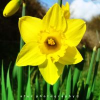 Hello Yellow by Afer-Photography