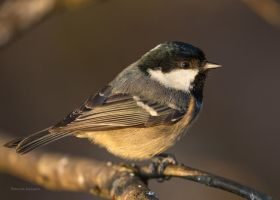A Coal tit and morning light by roisabborrar