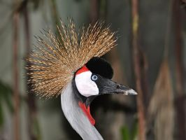 Grey Crowned Crane by nordfold