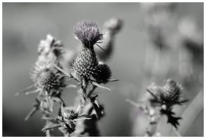 Distel by stillaut
