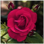 Rose by Holi--Day
