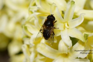 Hoverfly by Hyperborean1987