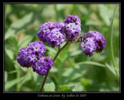 Verbena on Green 2084 by Eolhin