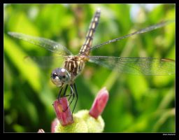 dragonfly by schmbrln