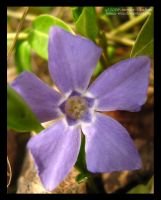 Purple Periwinkle by Jenna-Rose