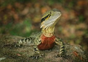 Eastern Water Dragon: Physignathus lesueurii by Firey-Sunset