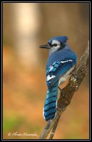 Blue Jay by Ptimac
