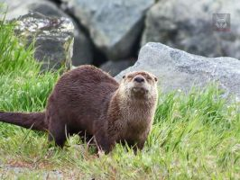 Otter In The Grass Smiling by wolfwings1