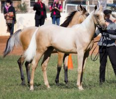 STOCK - 2014 Youngstock-111 by fillyrox
