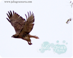 Red Tail Hawk by JuliaGraceArts