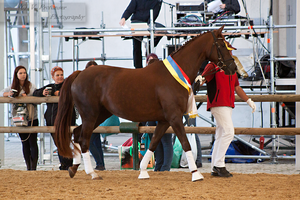 Austrian Warmblood Mare_3 by CalyHoney