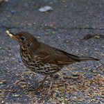 Songthrush with a Suet stick by taramara