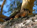 Squirrel by Sergiba
