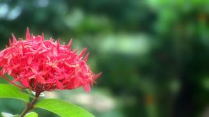 Red Flower - Refined by bogas04