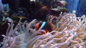 MN Zoo-Clownfish and Sea Anemone by DarlingChristie