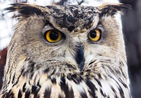 Western Siberian Eagle Owl Close-up Portrait by OrangeRoom