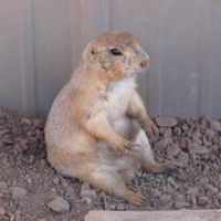 Really Cute Prairie Dog 4 by FantasyStock