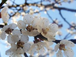 apricot blossom by Hani125