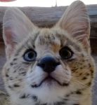 Cooper the serval by Damorik