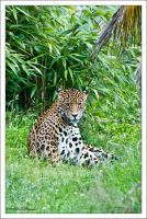 The Jaguar by mym8rick