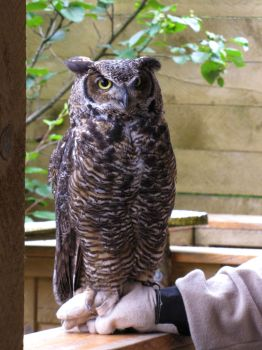 Great Horned Owl 1 by ShadowsStocks