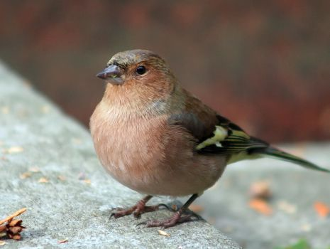 Chaffinch Curves by TomiTapio
