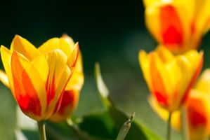 Red and Yellow tulips by sztewe