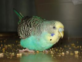 Kiwi, the parakeet by Ana74