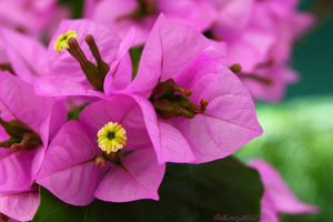bougainvillea by dbstrtz