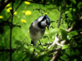 Blue Jay by S-H-Photography