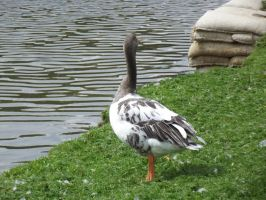 Goose Standing 3 by folipoo