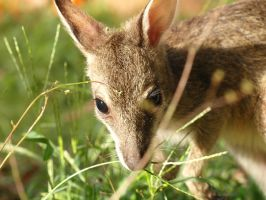 A wallaby like Billy by hollybambam