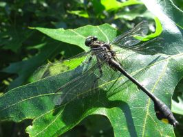 Dragonfly by Parad1gm