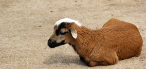Young Goat by Dinjai