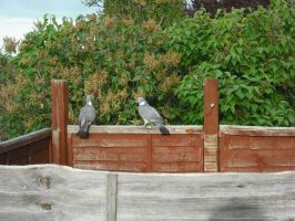 Two Woodpigeons in the Garden by betterwatchit