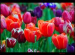 colourful tulipas by Zlata-Petal