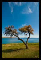 Pine Tree in Varkiza Beach by etsap