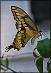 Tiger Swallowtail by TThealer56