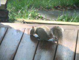 Squirrel II by LithiumStock