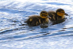 Ducklings.. by quaddie