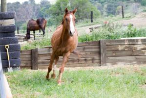 Km QH trot front on by Chunga-Stock