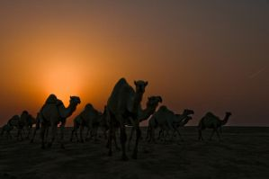 Camels Silhouette by amai911