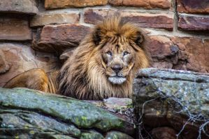 King of the jungle by Bartonbo