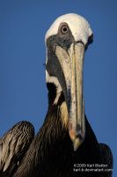 Pelican Portrait 3 by Karl-B